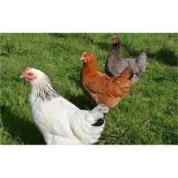 Poulette colorée 4 semaines